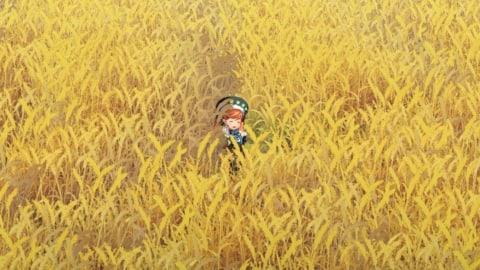 ラウラドームの黄金畑