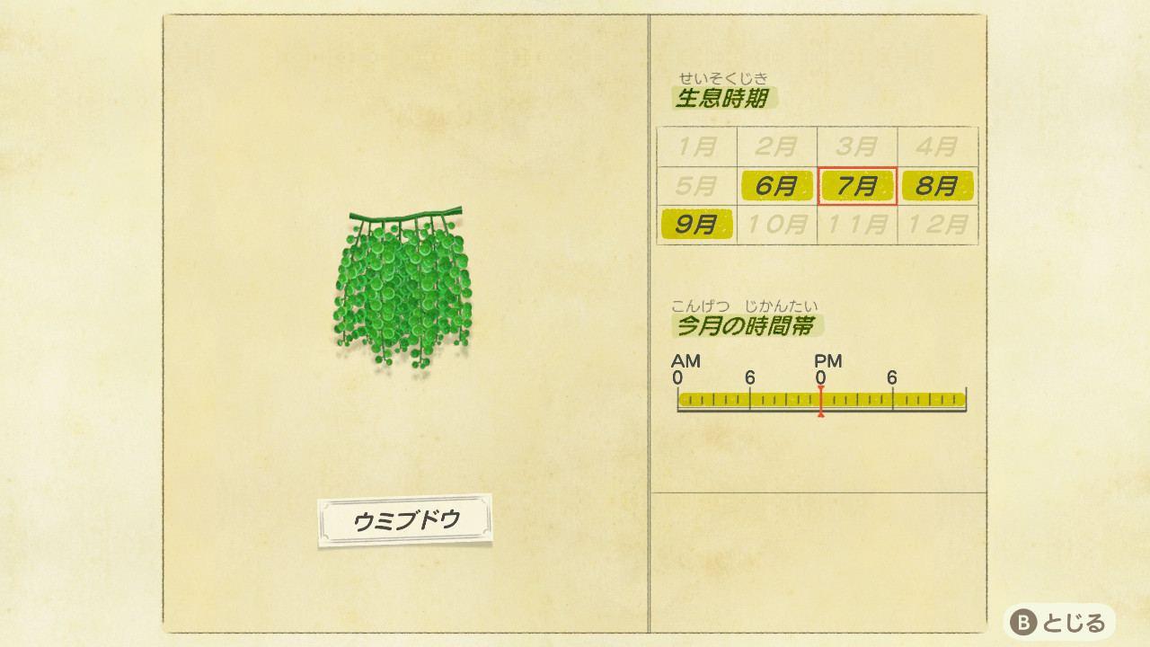 ウミブドウの値段と捕まえ方|時間・時期