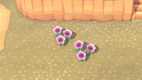 ピンク色アネモネの交配