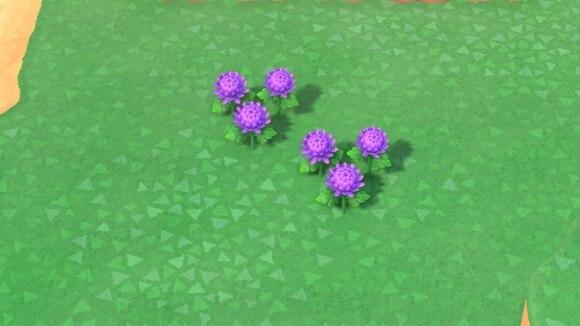 紫のキクの交配